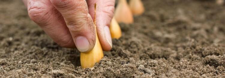 Когда сажать севок весной в открытый грунт