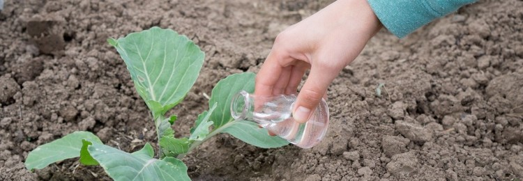 Чем подкормить капусту после высадки в открытый грунт