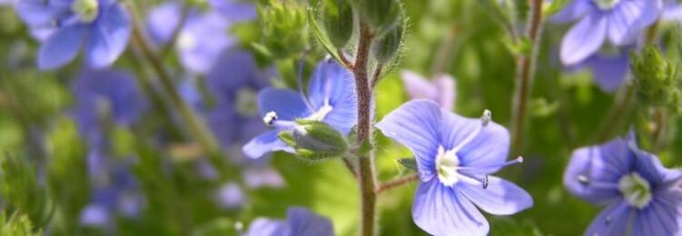 Вероника: травянистые растения для открытого грунта