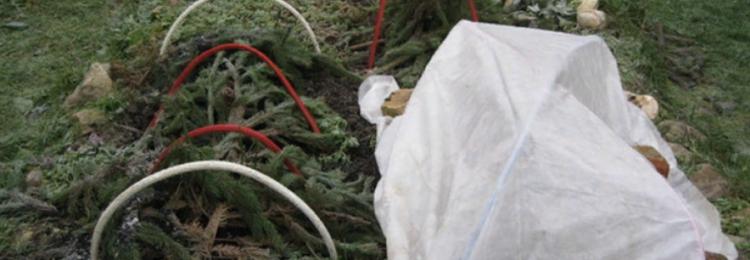 Как укрыть хризантемы на зиму