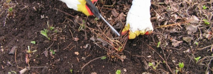 Уход за клубникой весной: обрезка, подкормка, пересадка