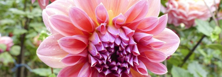 Георгина: выращивание из семян, когда сажать