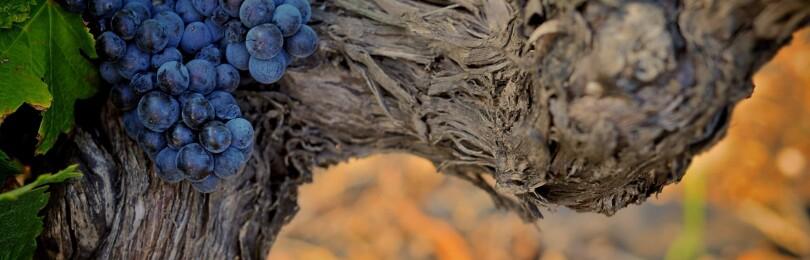 Строение виноградной лозы