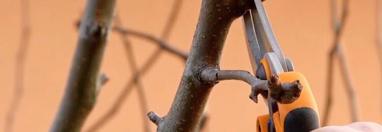 Обрезка груши осенью для начинающих