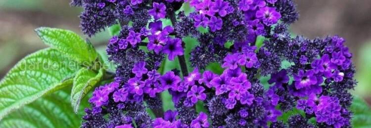 Гелиотроп: выращивание из семян, когда сажать в открытый грунт