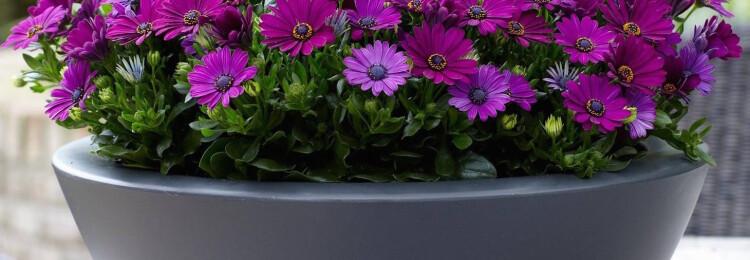 Остеоспермум: выращивание из семян, когда сажать