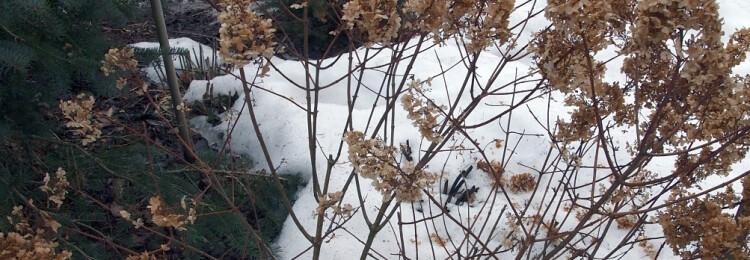 Обрезка гортензии метельчатой весной