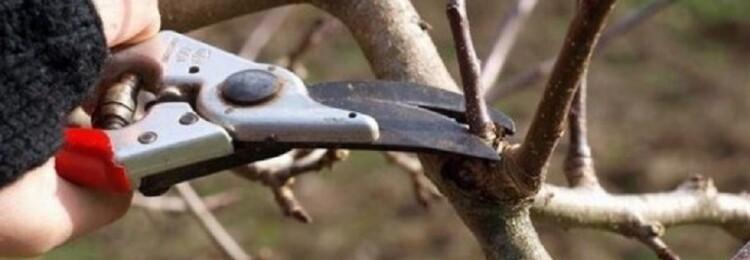 Обрезка груши весной для начинающих