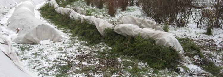 Как в Сибири укрыть розы на зиму