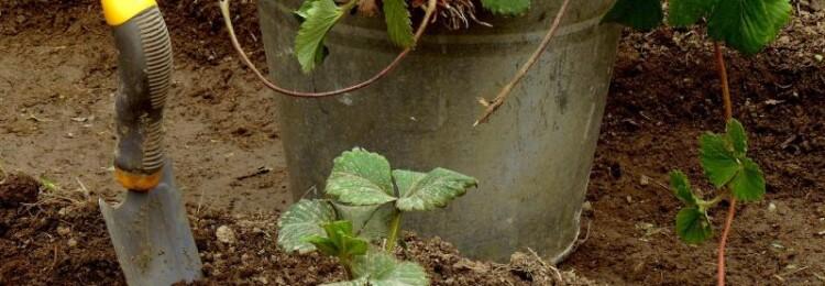 Пересадка клубники осенью на новое место. Дальнейший уход за клубникой