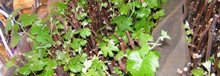 Кильчевание черенков винограда в домашних условиях