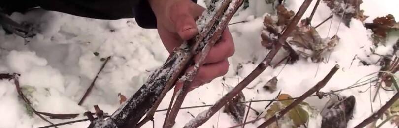 Обрезка винограда зимой