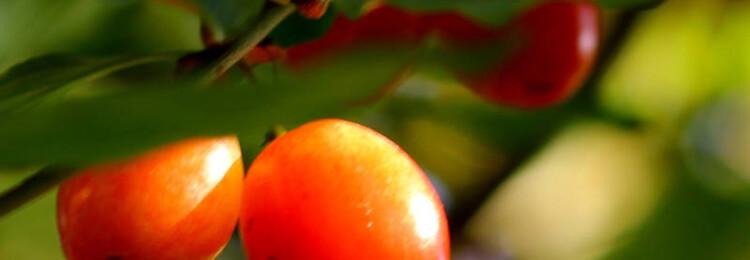 Польза и вред кизила для организма