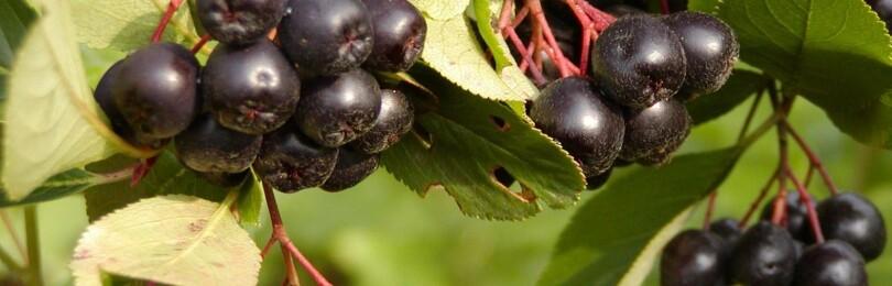 Уход и выращивание черноплодной рябины