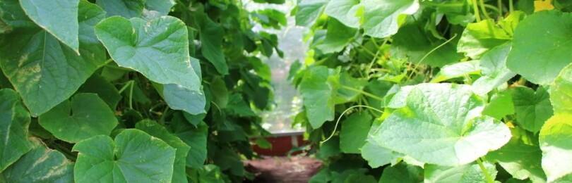 Подкормка огурцов дрожжами в открытом грунте
