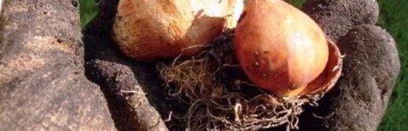 Когда выкапывают луковицы тюльпанов после цветения?