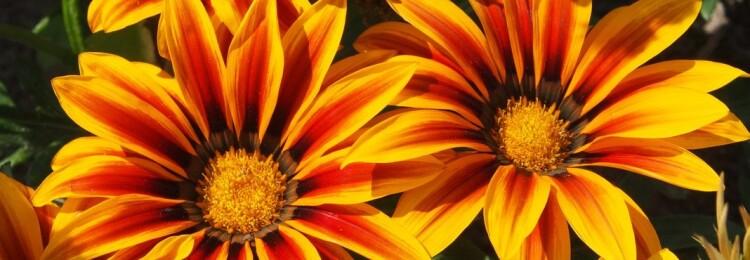 Гацания: выращивание из семян, когда сажать
