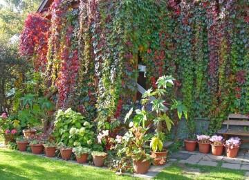 Девичий виноград — универсальное решение для земельного участка