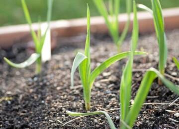 Чем подкормить весной чеснок посаженный под зиму?