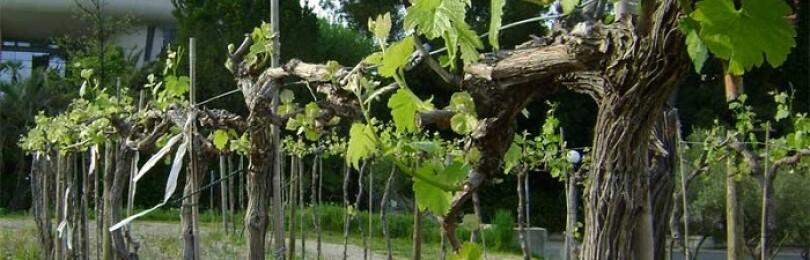 Формировка куста винограда