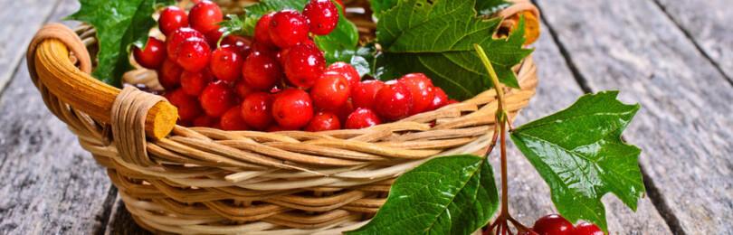 Калина: польза и вред для здоровья