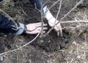 Пересадка смородины осенью на новое место