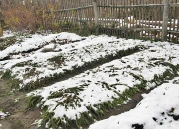Посадка лука под зиму в Подмосковье. Лунный календарь посадки озимого лука