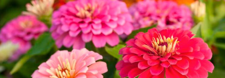 Циния: выращивание из семян, когда сажать