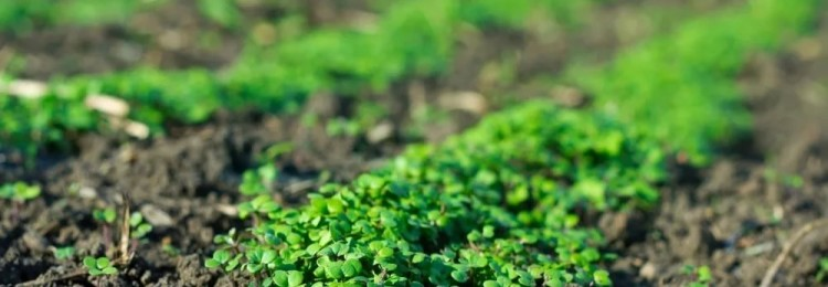 Как сажать горчицу для удобрения почвы осенью