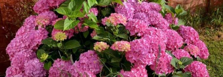 Чем подкормить весной гортензии для пышного цветения