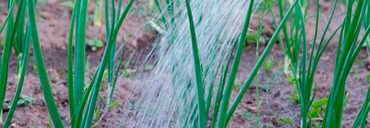 Лук: как часто поливать в открытом грунте