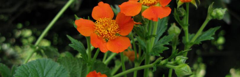 Гравилат: травянистые растения для открытого грунта