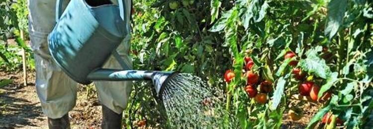 Как часто поливают помидоры в открытом грунте