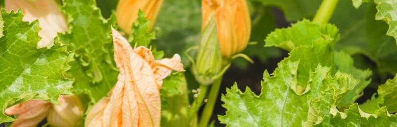 Почему на кабачках пустоцветы, что делать