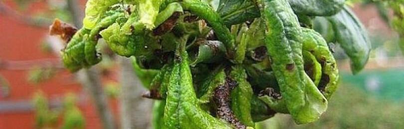 У сливы скручиваются листья, что делать