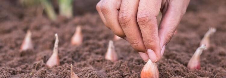Когда весной сажают лук в открытый грунт