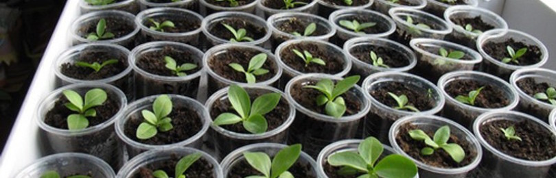 Эустома: выращивание из семян в домашних условиях. Особенности ухода за растением.