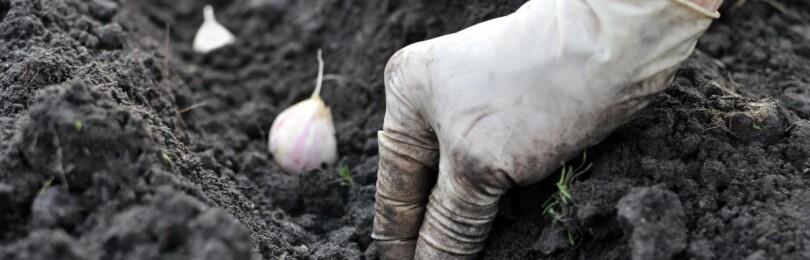 Посадка чеснока осенью под зиму на Урале. Особенности дальнейшего ухода