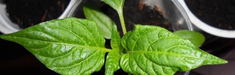 Скручиваются листья у рассады перца, что делать