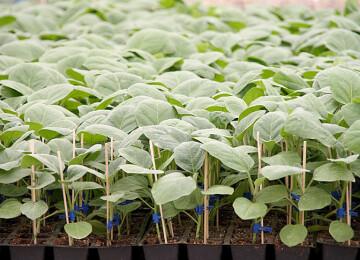 Сроки посева баклажан на рассаду