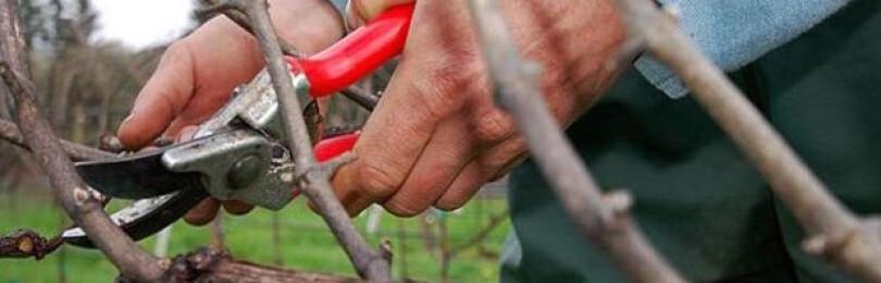Технология обрезки винограда