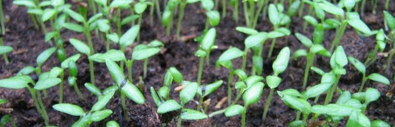 Посадка вербены семенами на рассаду