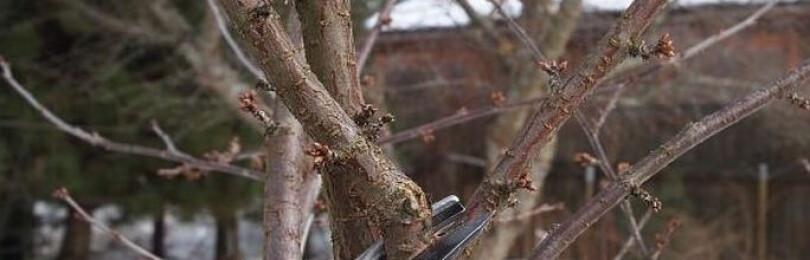 Обрезка вишни весной для начинающих