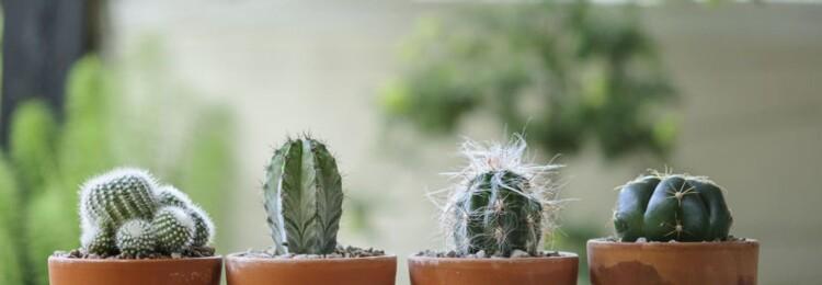 Как ухаживать за кактусом в домашних условиях