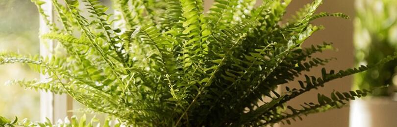 Папоротник: уход в домашних условиях, характеристика растения