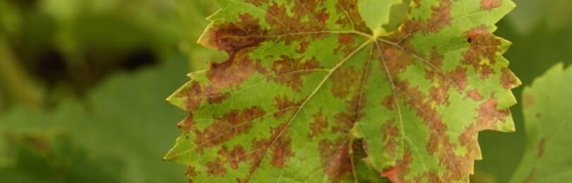 На листьях винограда появились коричневые пятна, чем обработать