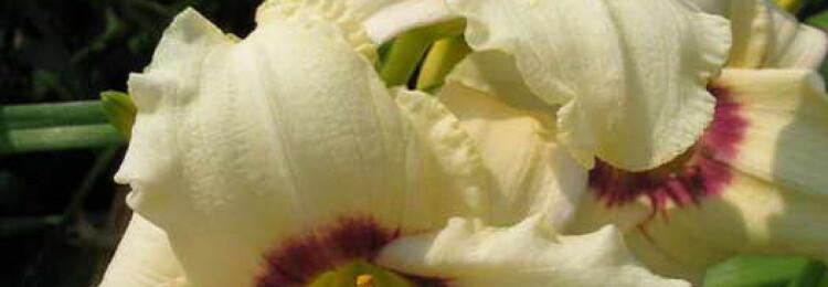 Лилейники: посадка и уход в открытом грунте