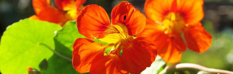 Настурция: выращивание из семян, когда сажать