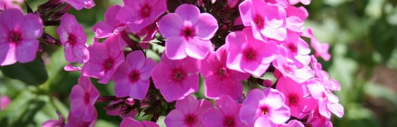 Флоксы: выращивание из семян, когда сажать