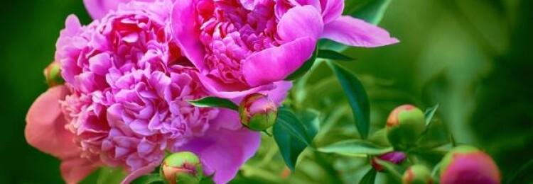 Чем весной подкормить пионы для пышного цветения